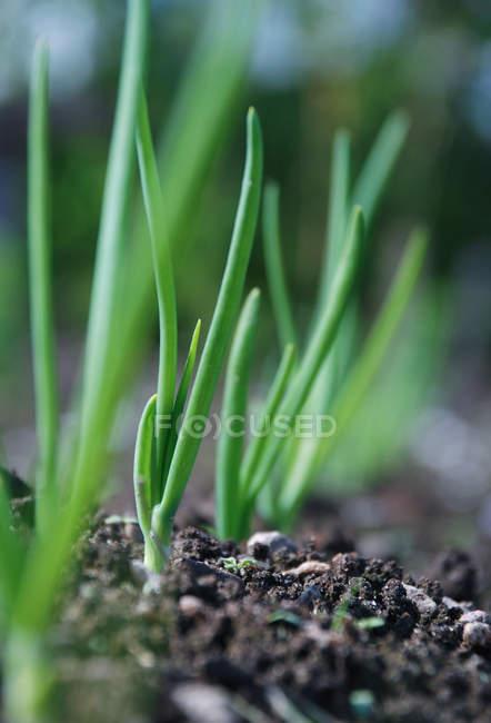 Foco seletivo de planta adulta em camas — Fotografia de Stock