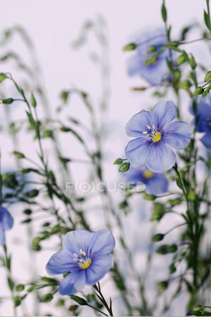 Primer plano de flores silvestres azules al aire libre - foto de stock
