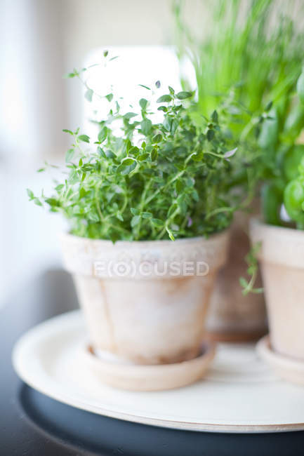 Stems with green leaves growing in clay pot on white plate — Stock Photo