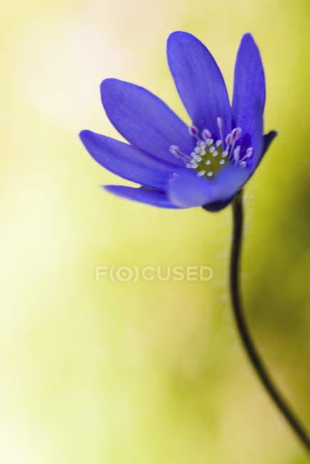 Primer plano de la púrpura de la flor sobre fondo amarillo - foto de stock