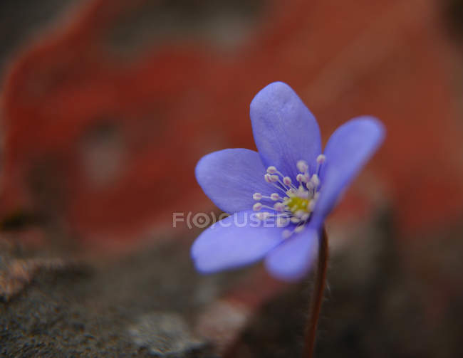 Closeup of wild violet petals outdoors — Stock Photo