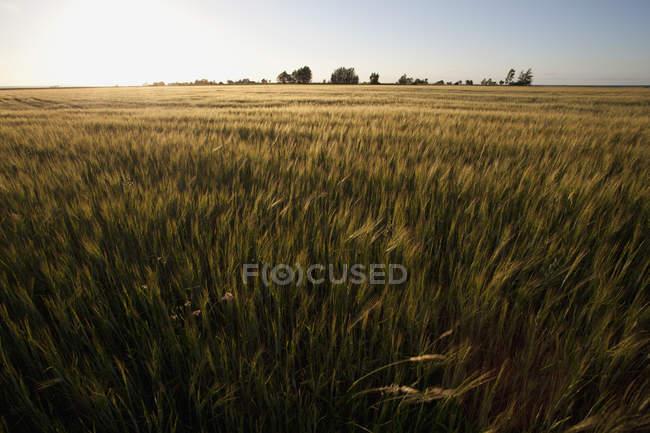 Vista panoramica del campo verde dell'azienda agricola e tramonto orizzonte — Foto stock