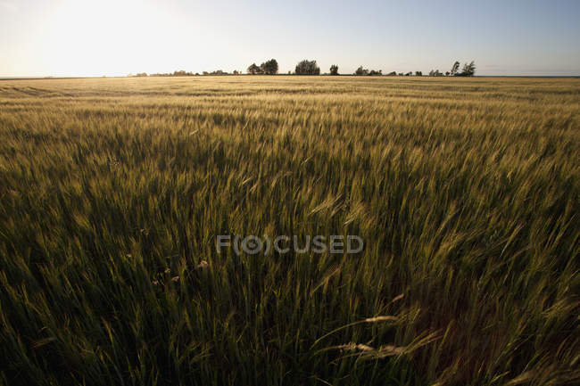 Scenic view of green farm field and sunset on horizon — Stock Photo