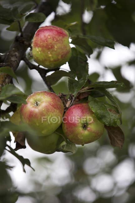 Primo piano del bagnato mele sull'albero — Foto stock