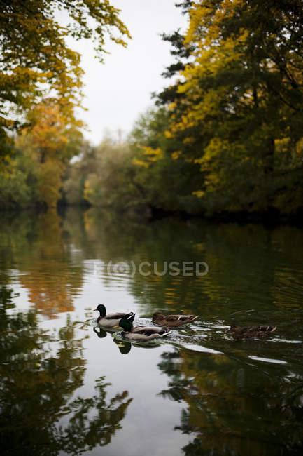 Patos nadando em águas calmas em galhos de árvores — Fotografia de Stock