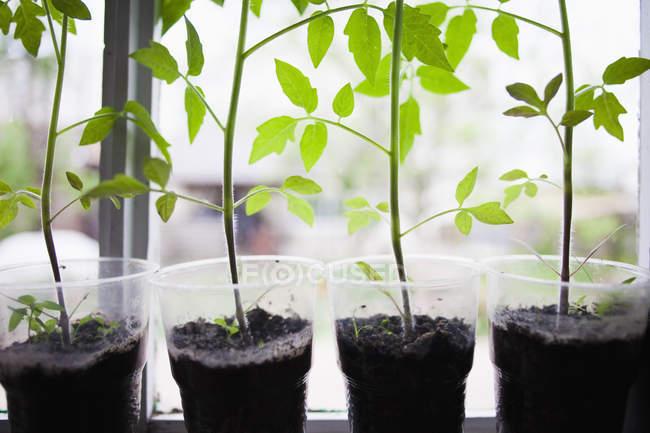 Fila di vasi di plastica con piante verdi al coperto sul davanzale della finestra — Foto stock