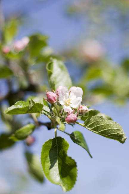 Close-up view of blossomed bud with green leaves on apple tree — Stock Photo