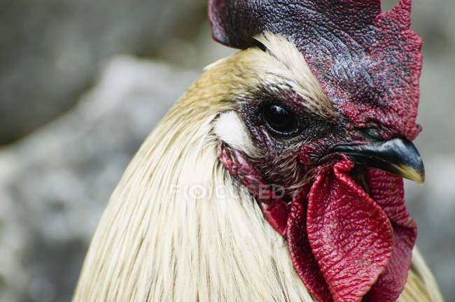 Голова петуха с белыми перьями и красный петушиного гребня. — стоковое фото