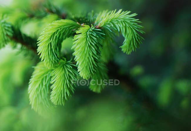 Vista ravvicinata del ramo di abete con aghi verde nuovi — Foto stock