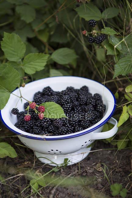 Colino pieno di more di fattoria di piante — Foto stock