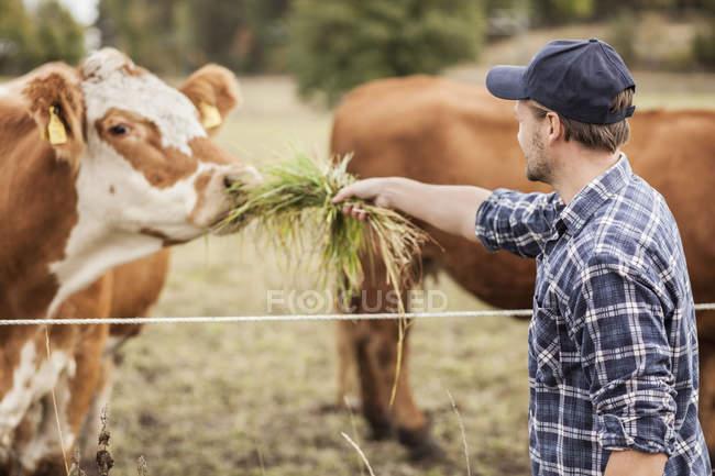 Meio agricultor adulto alimentando vaca no campo — Fotografia de Stock