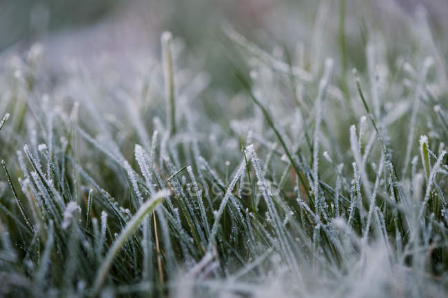 Close-up of frosty grass with white hoarfrost — Stock Photo