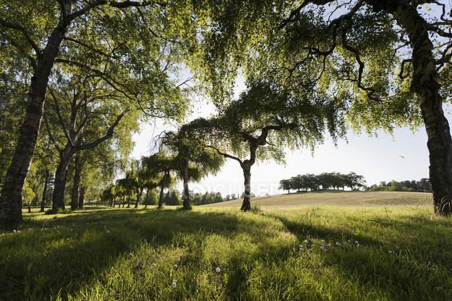 File di alberi vicino al campo da golf, vista sull'angolo basso — Foto stock