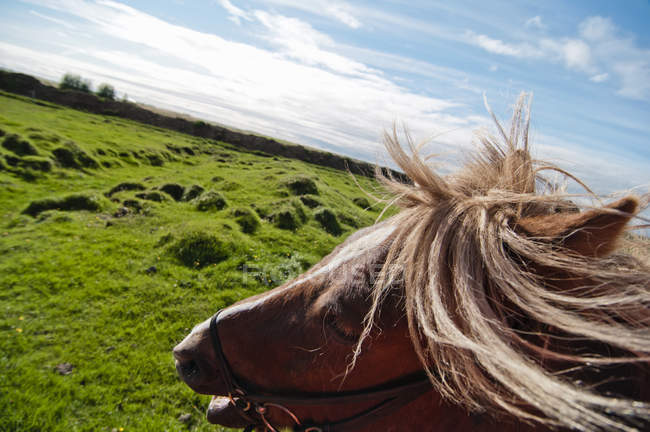 Tilt shot of horse head and green land at Iceland — Stock Photo