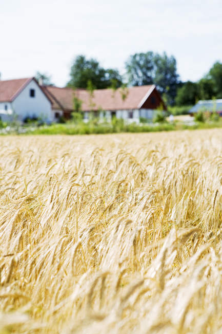 Wheat field and farmhouses under blue sky — Stock Photo