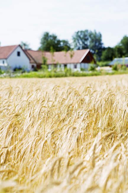 Weizenfeld und Bauernhäuser unter blauem Himmel — Stockfoto