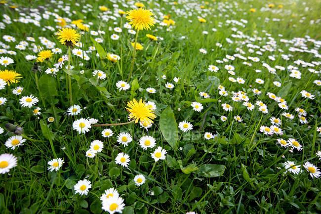 Цветущая поляна одуванчики и ромашки среди зеленой травы — стоковое фото