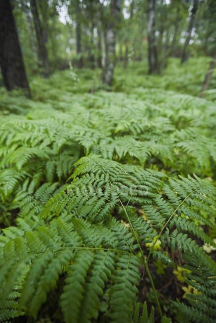 Lussureggianti foglie di felci nel bosco tra alberi — Foto stock