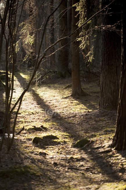 La lumière du soleil et les ombres des arbres dans une forêt dense — Photo de stock