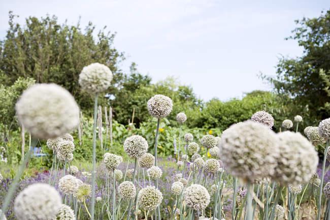 Цветущие стебли чеснока в саду против голубого неба — стоковое фото
