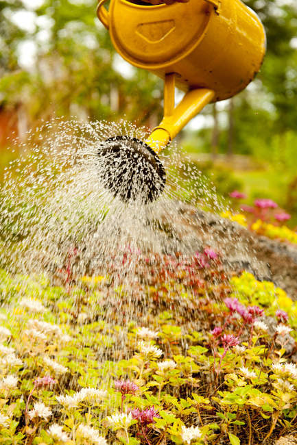 Water pouring from yellow watering-pot on blooming flowers — Stock Photo