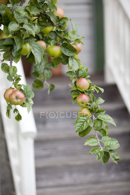 Apples and leaves growing on branch with stair in background — Stock Photo