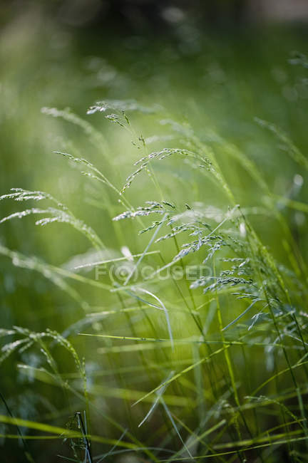 Close-up view of green grass stalks at blurred background — Stock Photo