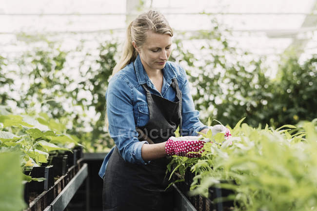 Gardener checking leaves of potted plants in greenhouse — Stock Photo