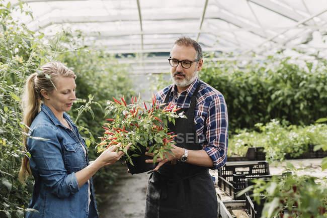 Садівники перевірки кімнатні рослини в теплиці — стокове фото