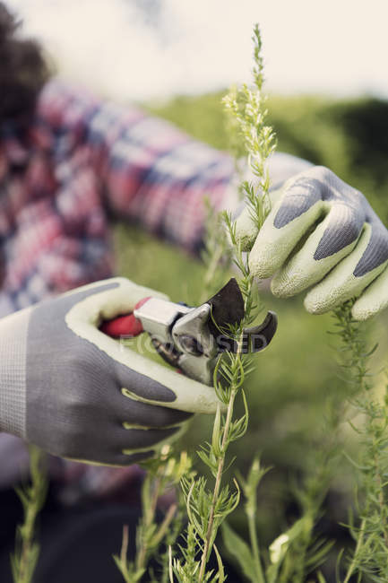 Cropped image of mature woman cutting plants with pruning shears at community garden — Stock Photo