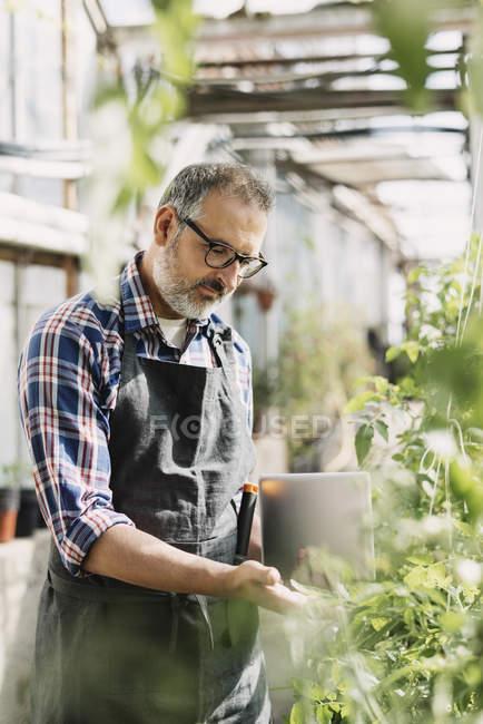 Садовник с цифровым планшетом, смотрящим на растения в теплице — стоковое фото