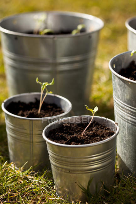 Close-up of seedlings in gray metal pots — Stock Photo