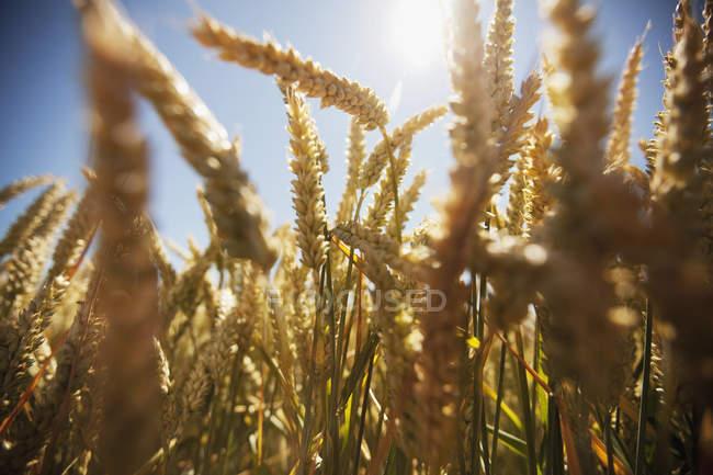 Nahaufnahme der Reife Ähren gegen Sonne in klaren Himmel — Stockfoto