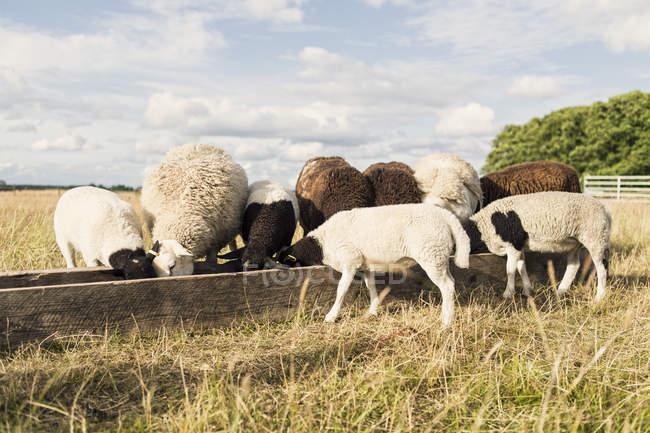 Sheep feeding in trough at farm against sky — Stock Photo