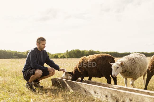Farmer crouching while feeding sheep at farm — Stock Photo
