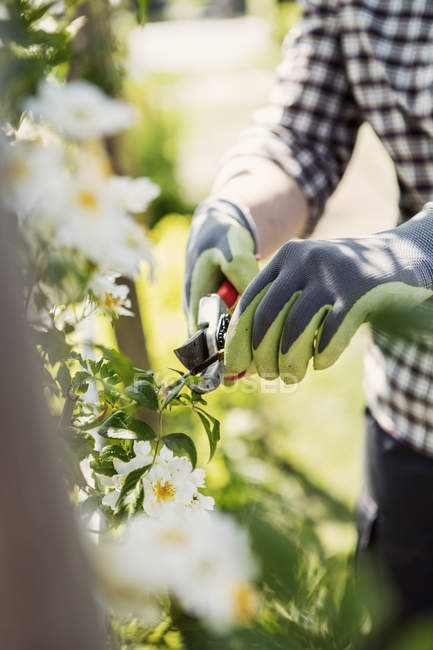 Midsection of mature woman cutting plants with pruning shears at community garden — Stock Photo