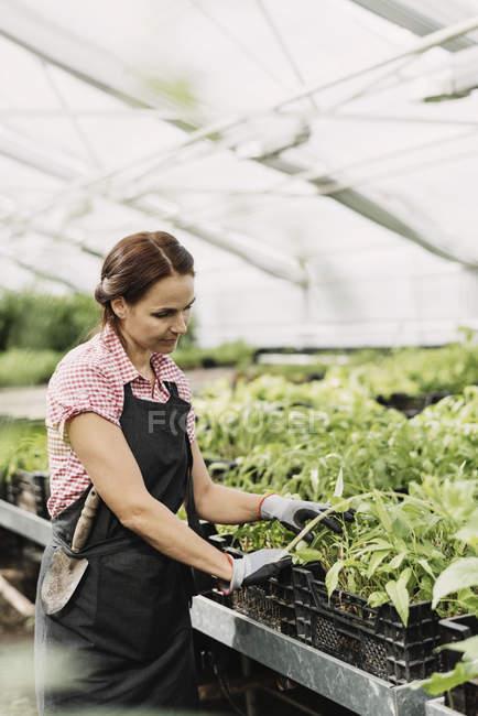 Самка садовника, исследующая горшечные растения в теплице — стоковое фото
