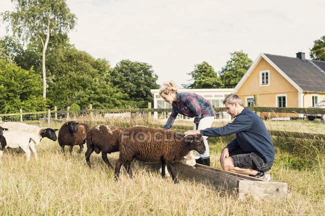 Man and woman embracing sheep while feeding at farm — Stock Photo