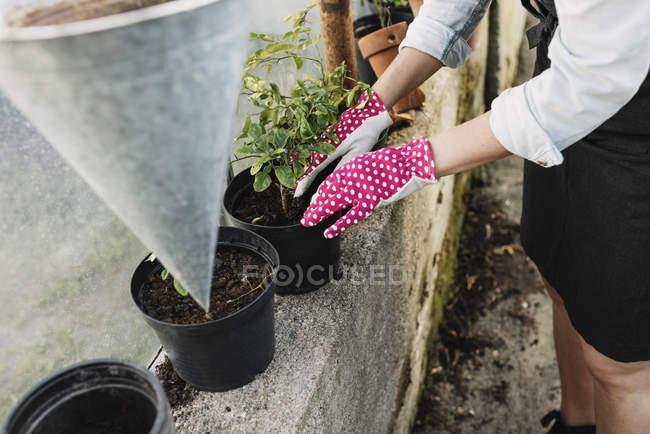 Gardener planting in pot at greenhouse — Stock Photo