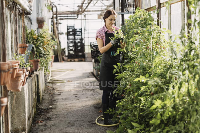 Woman examining the leaves of plants growing in greenhouse — Stock Photo
