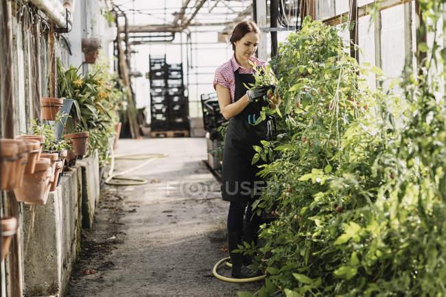 Frau untersucht die Blätter von Pflanzen, die im Gewächshaus wachsen — Stockfoto