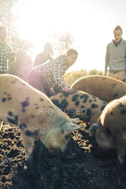 Les éleveurs s'occupent des porcs à la ferme biologique — Photo de stock