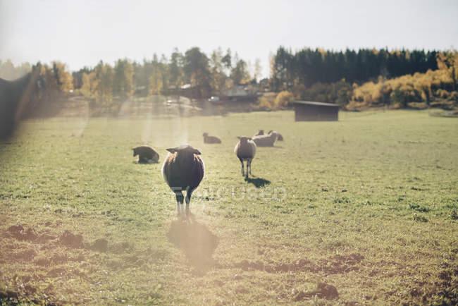 Rebaño de ovejas en el campo verde en la granja - foto de stock