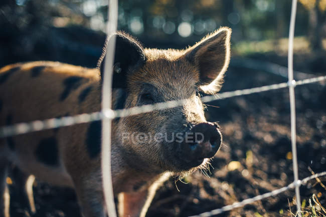 Pig standing in animal pen at organic farm — Stock Photo