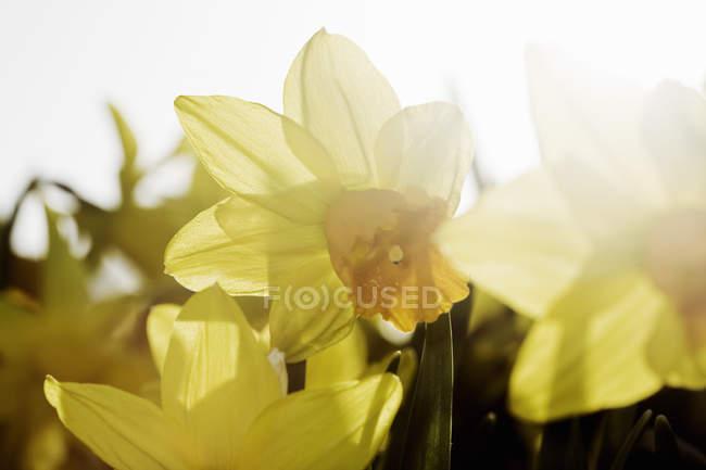 Nahaufnahme der gelben Narzissen blühen an sonnigen Tag — Stockfoto