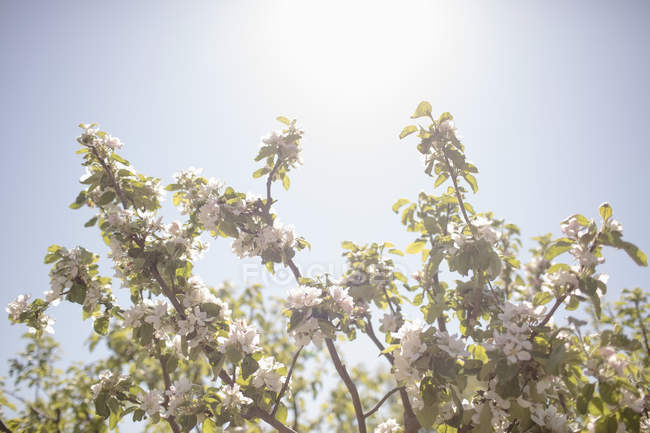 Low angle view of flowering branches against clear sky — Stock Photo