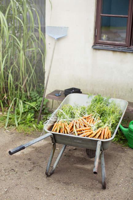 Vista de ángulo alto de zanahorias orgánicas frescas racimos en carretilla - foto de stock