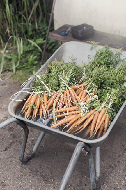 Vista di alto angolo di carote fresche organiche grappoli in carriola — Foto stock