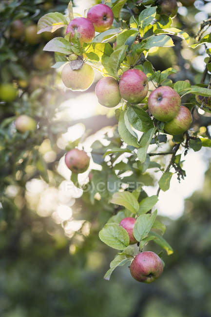 Apples and leaves growing on branch with sunlight at background — Stock Photo