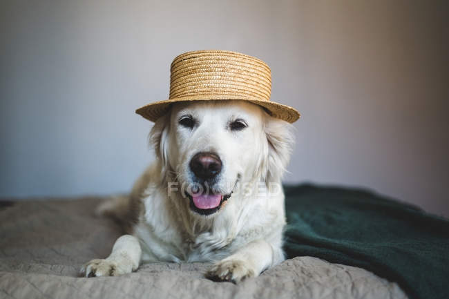 Close-up of Retriever dog wearing straw boater hat while lying on bed at home — Stock Photo